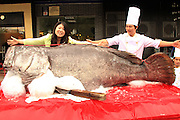 DONGGUAN, CHINA - NOVEMBER 10:  China Out- Finland out<br /> <br /> Giant Grouper Caught <br /> <br /> Staff pose with a 2.65-meter long grouper, 341.5kg in weight, at a restaurant on November 10, 2013 in Dongguan, Guangdong Province of China. The fish was caught in Nansha Islands sea area on November 7. <br /> ©Exclusivepix