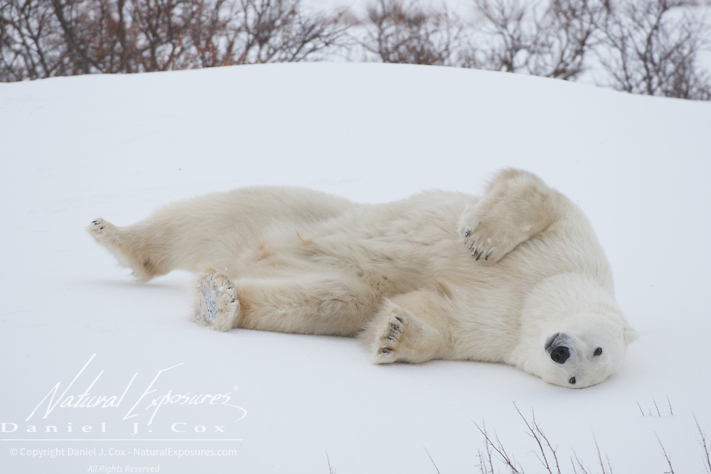 A polar bear gets up from a nap and takes a roll in the snow. Cape Churchill, Hudson Bay, Manitoba.