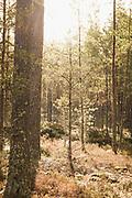 Bright sunrise almost burns through coastal pine forest, near Žocene, Kurzeme, Latvia Ⓒ Davis Ulands | davisulands.com