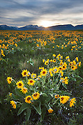 Arrowleafed Balsamroot carpet the foothills of the Rocky Mountain Front near the Scapegoat Wilderness, Montana.