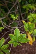 Hoawa, Limahuli Garden and Preserve, Haena, Kauai, Hawaii