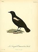 Traquet commandeur Myrmecocichla nigra - Sooty Chat from the Book Histoire naturelle des oiseaux d'Afrique [Natural History of birds of Africa] Volume 4, by Le Vaillant, Francois, 1753-1824; Publish in Paris by Chez J.J. Fuchs, libraire 1805