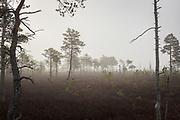 Cold and foggy morning in old wildfire part of raised bog Lielais Ķemeru tīrelis, Kemeri National Park (Ķemeru Nacionālais parks), Latvia Ⓒ Davis Ulands   davisulands.com