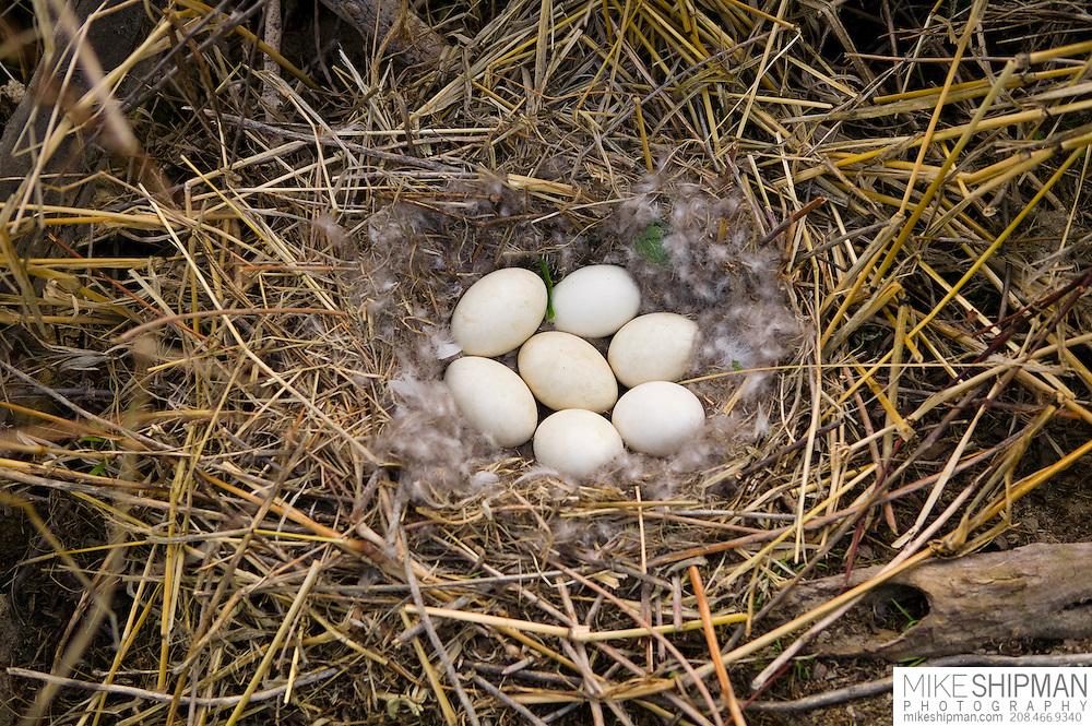Idaho, Canyon County, Snake River, Deer Flat National Wildlife Refuge, goose nest survey, eggs in a ground nest