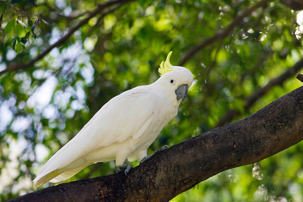 Sulphur-crested Cockatoo perched in a Forest Red Gum Tree, Australia