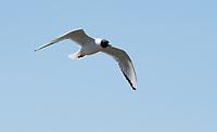 Bonaparte's Gull, Larus philadelphia, flying over Tule Lake National Wildlife Refuge, Oregon