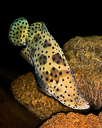 humpback grouper or pantherfish, Cromileptes altivelis, Indo-Pacific Ocean (c)