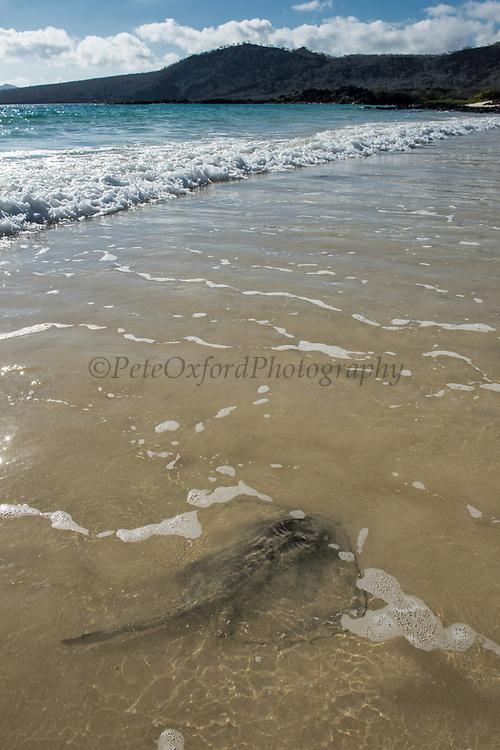 Southern Stingray (Dasyatis americana)<br /> Flour Beach, Floreana Island<br /> Galapagos<br /> Ecuador,  South America