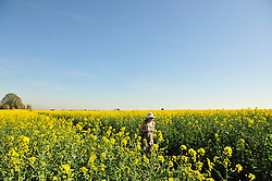 © Licensed to London News Pictures.19/04/2018<br /> CHELSFIELD, UK.<br /> Hot weather.<br /> A bright yellow rapeseed field in Chelsfield,Kent . Today is set to be the hottest day of the year.<br /> Photo credit: Grant Falvey/LNP