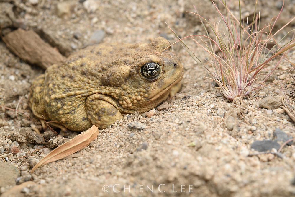 Arroyo Toad (Anaxyrus californicus). Baja California Norte, Mexico.