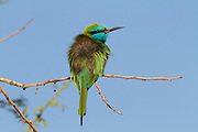 Green Bee-eater (Merops orientalis) on a branch, This bird are found widely distributed across sub-Saharan Africa from Senegal and the Gambia to Ethiopia, the Nile valley, western Arabia and Asia through India to Vietnam. Photographed in the Negev desert, Israel