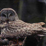 Adult great gray owl on nest with chicks in Montana.