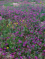 CADDV_032 - USA, California, Death Valley National Park; Notch-leaf phacelia (Phacelia crenulata) and desert sunflower (Geraea canescens) bloom on the valley floor in the Furnace Creek area.