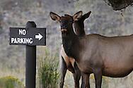 Wapiti, Yellowstone NP, Wyoming (Estados Unidos)