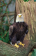 Captive bald eagle close-up