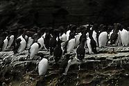 Guillemots of Noss, Shetland Islands