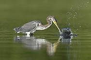Tricolored Heron - Egretta tricolor