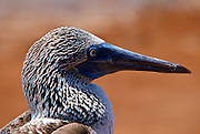 Beak detail of Blue-footed Booby bird on the Galapagos Islands, Ecuador