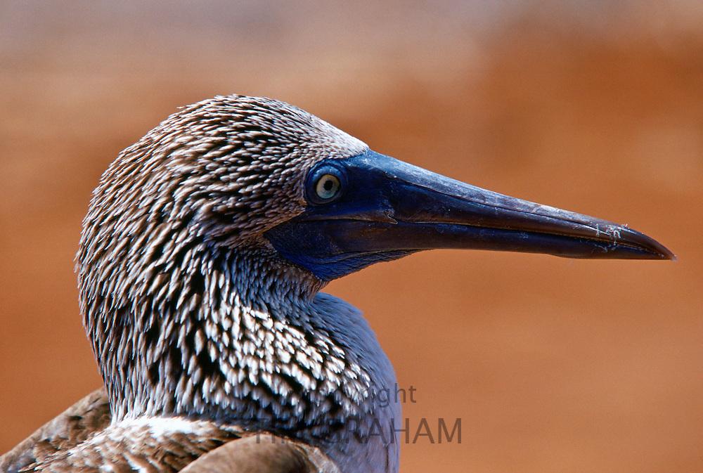 Beak detail of Blue-footed Booby bird on the Galapagos Islands, Ecuador