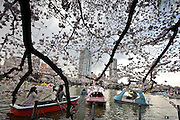 Paddle boats and cherry blossom, Ueno Park, Tokyo, Japan, April 3, 2010.