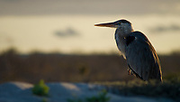 A restful Great Blue Heron warms up with the last rays of light at Bachas Beach, Santa Cruz Is., Galapagos.