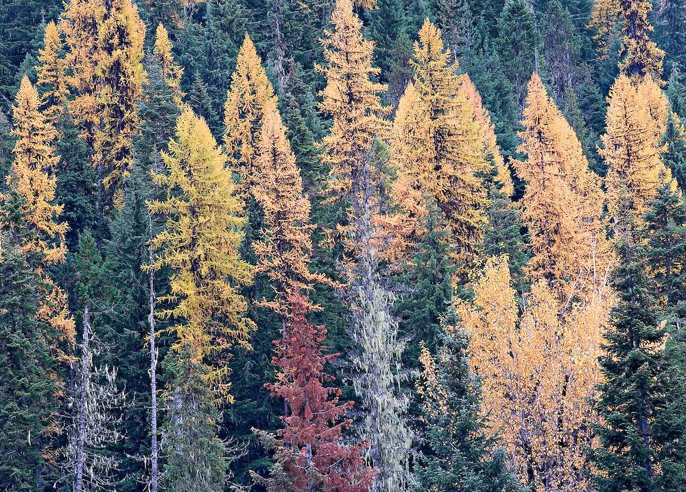 Autumn Tamarack Forest, Idaho