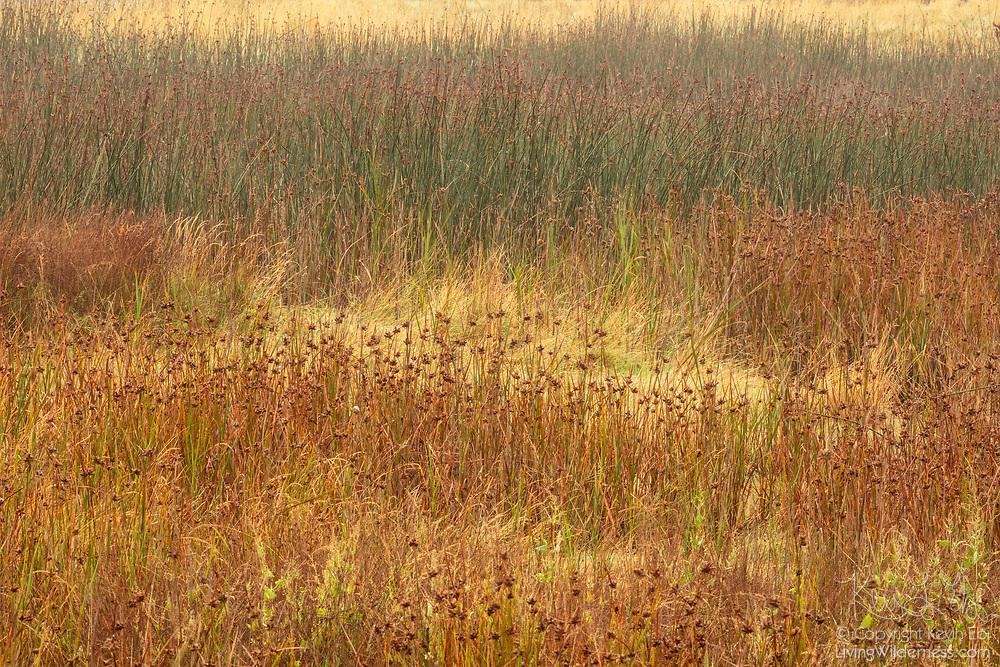 Hardstem bulrush (Schoenoplectus acutus) grows in the Edmonds Marsh, a saltwater marsh located in Edmonds, Washington.