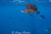 released Atlantic sailfish, Istiophorus albicans, showing injuries from fish hook and line, and handling, is swimming normally and hunting sardines off Yucatan Peninsula, Mexico ( Caribbean Sea ) (de)