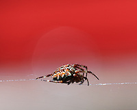 The European garden spider, diadem spider, cross spider, or cross orbweaver (Araneus diadematus) is a very common and well-known orb-weaver spider