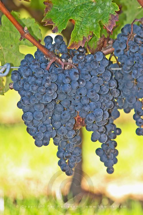 Ripe grape bunches of Merlot in the vineyard  - Château Pey la Tour, previously Clos de la Tour or de Latour, Bordeaux, France