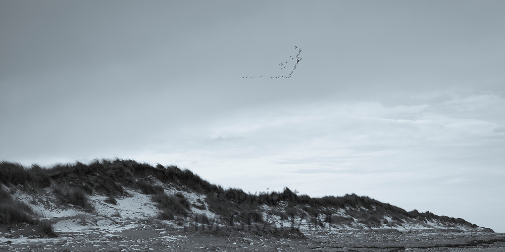 Flock of geese in flight over sand dunes at Holme-Next-The-Sea in Norfolk, England, UK