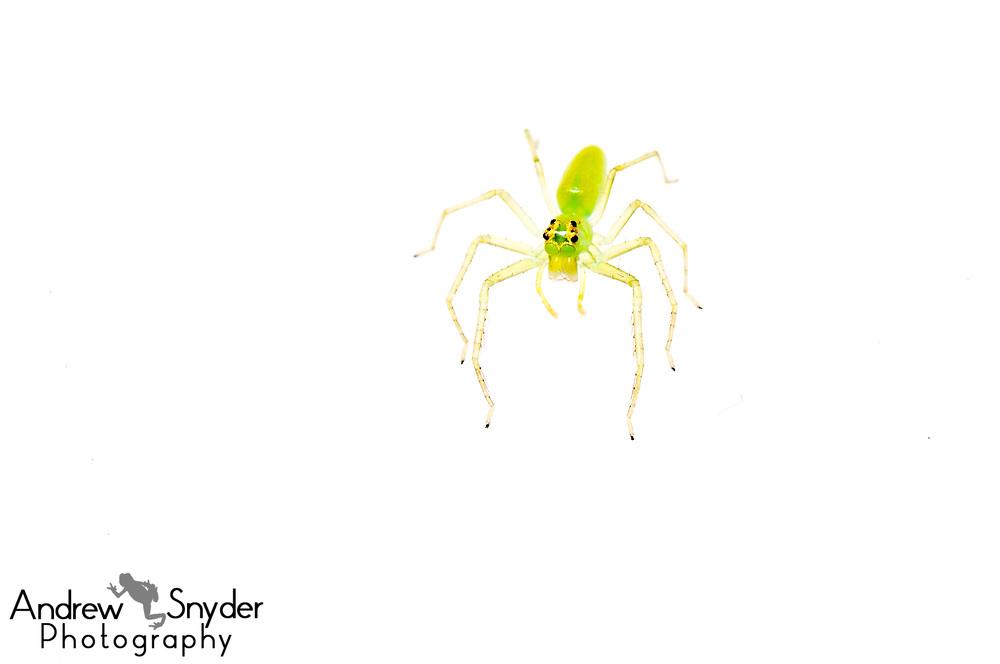 Jumping spider, Lyssomanes sp., Iwokrama, Guyana, July, 2013, Summer