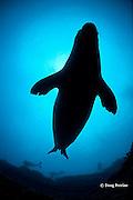 scuba divers and Hawaiian monk seal, Monachus schauinslandi, Critically Endangered endemic species, male, Lehua Rock, off Niihau, Hawaii ( Central Pacific Ocean )