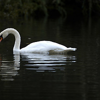 White swan swimming in a dark lake with reflection<br />