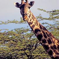 Africa, Kenya, Maasai Mara. Maasai Giraffe.