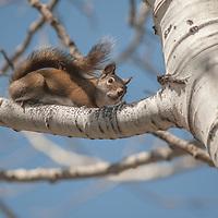 An American red squirrel (Tamiasciurus hudsonicus) perches on a branch of an aspen tree.