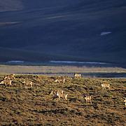 Barren Ground Caribou (Rangifer arcticus).  A porcupine herd in the Arctic National Wildlife Refuge of Alaska.
