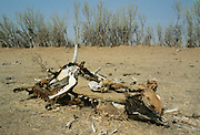 Ccarcasses of the bones of dead animals in the drought areas of Burkina Faso (formerly Upper Volta)