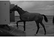 Arrival of Ninski Major and Torus.   (M95)..1979..11.10.1979..10.11.1979..11th October 1979..With the Irish St Ledger to be run, on Saturday 13th Oct, two of the race favourites landed at Dublin Airport today. Ninski Major to be ridden by Willie Carson and Torus to be ridden by John Reid unloaded from the Aer Turas animal transport..Image shows Ninski Majors handler loading him onto the transporter for his journey to the Curragh Racecourse, Co Kildare.