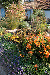 Early autumn border in Derry Watkins' garden with Crocosmia * crocosmiiflora 'Solfatare'  and C. 'Star of the East' in the foreground