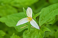 A close-up of a western trillium at the top of Snoqualmie Pass in the Cascade Mountains in Washington.