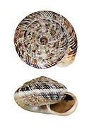 wrinkled snail<br /> Candidula intersecta