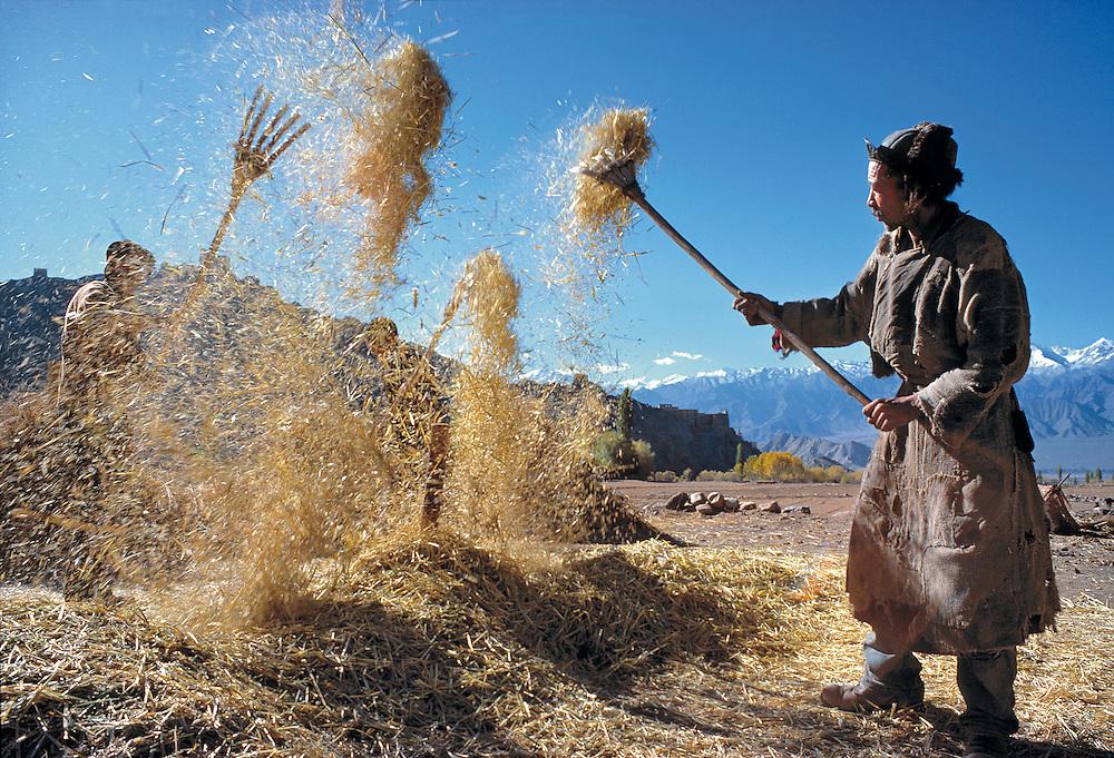 A farmer winnows wheat outside Leh, Ladakh, India.