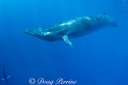 Bryde's whale, Balaenoptera brydei or Balaenoptera edeni, with striped marlin diving down in lower left corner, off Baja California, Mexico ( Eastern Pacific Ocean )