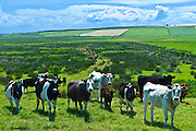 Herd of cattle with calves near Doonbeg, County Clare, West of Ireland
