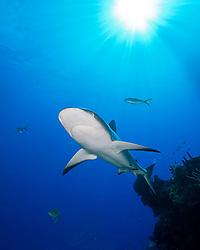 Caribbean Reef Shark, Carcharhinus perezi, swimming over coral reef ledges, West End, Grand Bahama, Atlantic Ocean.