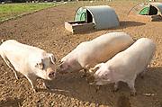 Free range pig farming at Shottisham, Suffolk, England, UK