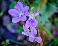 Wild Violets (Viola). Image taken with a Fuji X-T3 camera and 80 mm f/2.8 macro lens (ISO 400, 80 mm, f/2.8, 1/120 sec).