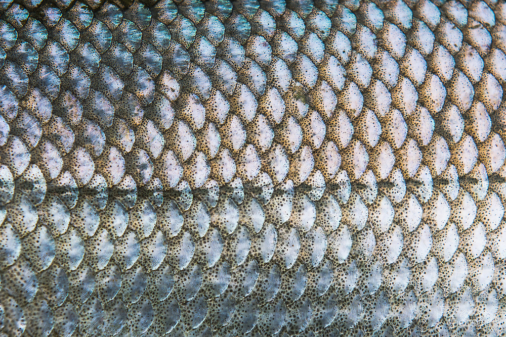 Detail on shefish scales and the lateral line has the look of mother of pearl.