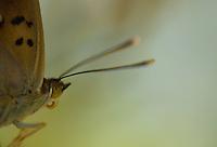Close-up of Lesser Purple Emperor, Apatura ilia, Gornje Podunavlje Special Nature Reserve, Serbia